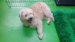 Ler Ler ( Poodle Terrier Mix ) - Poodle Mix Dog