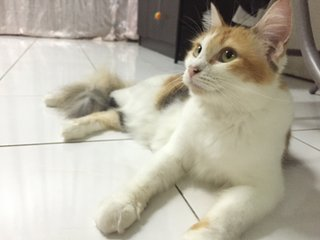 Longxyy - Calico + Domestic Medium Hair Cat