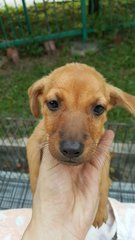 HoneyBun - Miniature Pinscher Mix Dog