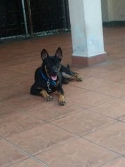 Zara - Doberman Pinscher Mix Dog