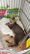 Waiting New Owner To Name Me!  - Domestic Short Hair Cat