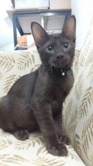 Brown Kitten - Domestic Short Hair Cat