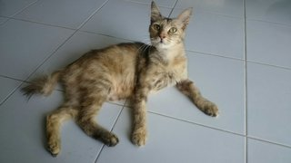 Kak Ros  - Domestic Short Hair Cat