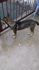 PF75861 - Mixed Breed Dog