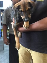 Rottie Mix Pups Klang  - Mixed Breed Dog