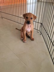 PaePe (Indoor-Toilet Trained)  - Mixed Breed Dog