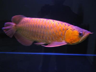 Arowanas fish sold 15 years 5 months arowana for sale l for Arowana fish for sale online