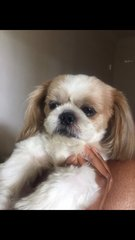 Macqueen  - Shih Tzu Dog
