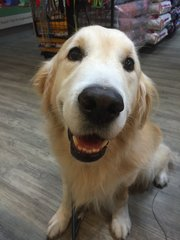 Happy - Golden Retriever Dog