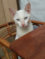 Blue Eyed Tommie - Domestic Short Hair Cat