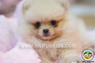 Quality Pom2eranian Puppies - Pomeranian Dog