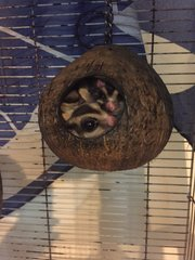Toby(M) Toshee (F) And Family.  - Sugar Glider Small & Furry