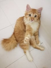 Simba Aka Bulu - Domestic Long Hair Cat