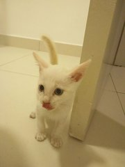 Cotton - Domestic Short Hair Cat