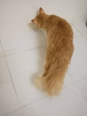 Obi One Kenobi Aka Bulu Bangkok - Domestic Medium Hair Cat