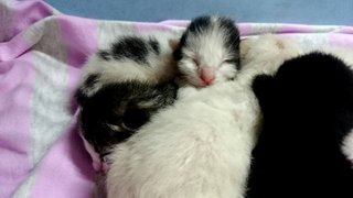 5 Newborn Kittens Wants HOME - Domestic Short Hair Cat