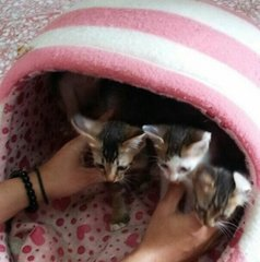 5 Kittens - Domestic Short Hair Cat