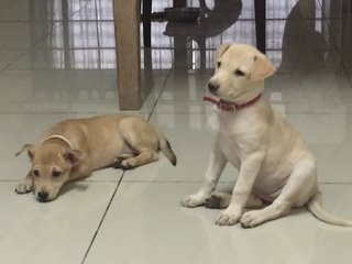 Female Puppies With Labrador Looks - Mixed Breed Dog