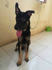 Bryan-German Shepherd+Labrador Cross - German Shepherd Dog + Labrador Retriever Dog