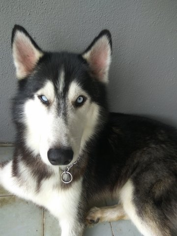 Husky (he Is Back With His Owner)  - Husky Dog