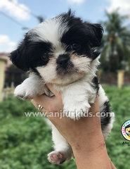 Quality Female Black White Shih Tzu Pup - Shih Tzu Dog