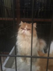 Joni - Domestic Long Hair + Persian Cat
