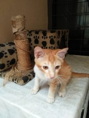 Aman The Ginger Boy - Domestic Short Hair Cat