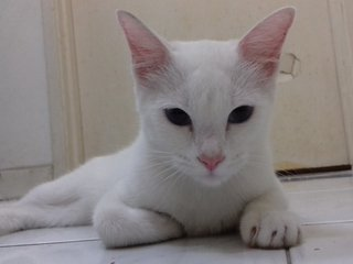 Snowy - Domestic Short Hair Cat