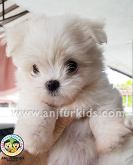 4Adorable Female Maltese Puppies - Maltese Dog