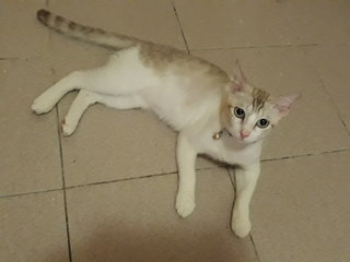 Prinze - Domestic Short Hair Cat