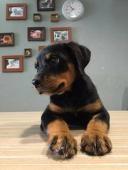 Rottweiler - Big Size Short Coat  - Rottweiler Dog