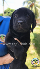 Grand Champion Line Labrador Retriever  - Labrador Retriever Dog