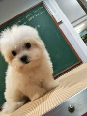 Maltese - Small Tiny Size With  MKA - Maltese Dog