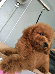 Toy Poodle - Small Size - Poodle Dog