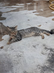 Missing Around Sec19 Pj With Red Collar - Domestic Short Hair Cat