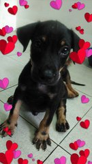 RottieBoy:Rottweiler Mix - Mixed Breed Dog