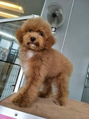 Toy Poodle - Thick Coat And Small Size - Poodle Dog