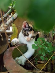 Sweets - Calico Cat