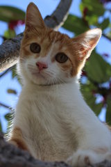 Owlet - Domestic Short Hair Cat