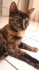 Cleo  - Domestic Short Hair Cat
