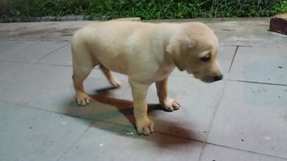 Puppy - Male - Labrador Retriever Mix Dog