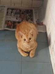 30 Cats For Adoption - Domestic Medium Hair + Domestic Short Hair Cat