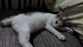 Kitten For Adoption (5 Months) - Domestic Short Hair Cat