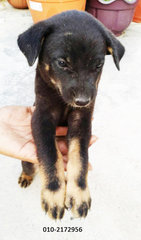 Black Female Puppy - Mixed Breed Dog