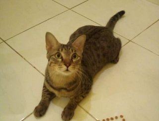 Manja Boy - Domestic Short Hair Cat