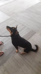 Lily The Female Dog For Adoption - Miniature Pinscher Mix Dog
