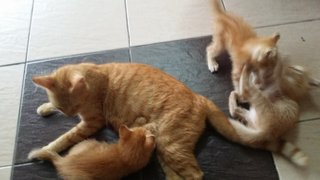 Mama Yen And 2 Kittens - Domestic Medium Hair + Tabby Cat