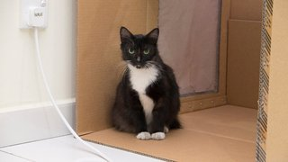 PF85006 - Domestic Short Hair Cat