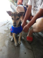 Baby (big Ear Small Size Puppy) - Mixed Breed Dog
