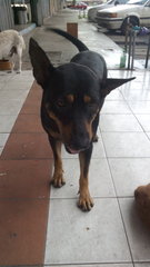 MANSON - Rottweiler Mix Dog